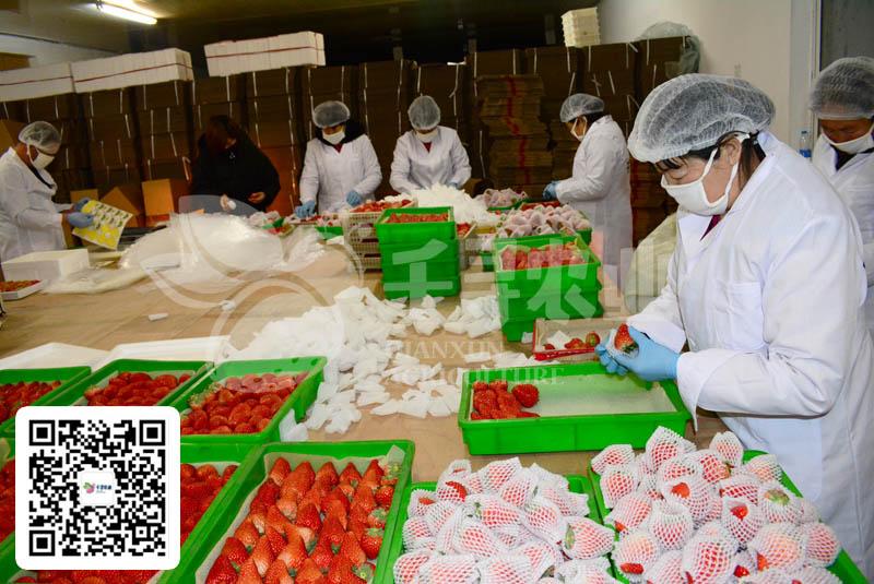 草莓微商供货工作已经启动